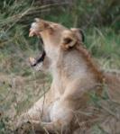 060 lion 218526