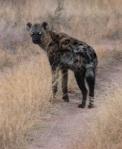 120 hyena 195623