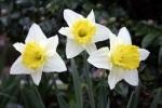 138 daffodils 84873