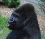 204 gorilla 869751