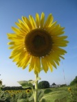 231 sunflower 639224