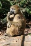 243 baboon 673408
