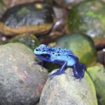 289 blue frog 869147