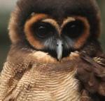 406 brown_wood_owl 900379