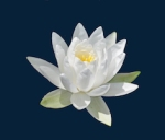 412 water lily 764460