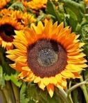 420 sunflowers 766360