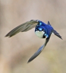 460 tree swallow 811203