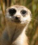 462 meerkat 815698