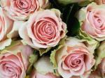 523 roses 898757