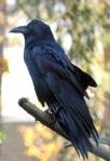 586 crow 872333