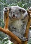 624 Koala 903705