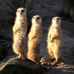698 pov three_meerkats 893390