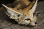 804 fox 877035