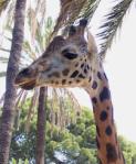 809 giraffe 979202