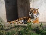 922 tiger 658179