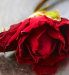 998-red-rose-598092