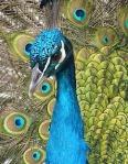 1076-blue-peacock-90051_640